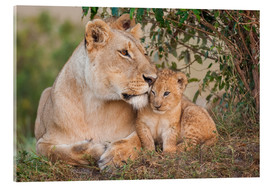 Acrylic print  Mother love at the lion - Ingo Gerlach