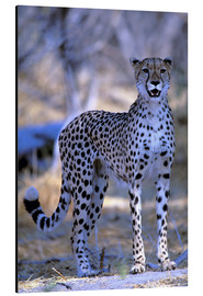 Aluminium print  Attentive cheetah - Pete Oxford