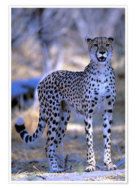 Premium poster  Attentive cheetah - Pete Oxford