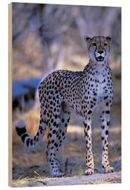 Wood print  Attentive cheetah - Pete Oxford