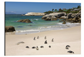 Aluminium print  Penguins on Boulders Beach - Paul Thompson