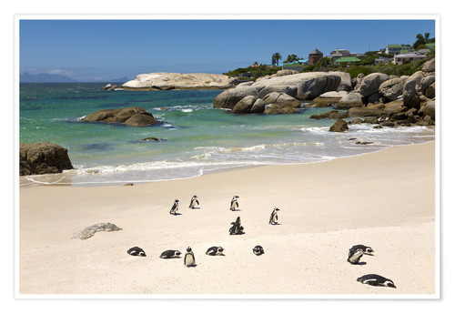 Premium poster Penguins on Boulders Beach
