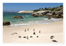 Premium poster  Penguins on Boulders Beach - Paul Thompson