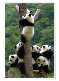 Premium poster  Panda babies on the climbing tree - Pete Oxford