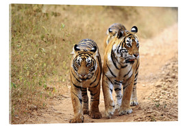 Acrylic print  Royal Bengal Tigers on the track - Jagdeep Rajput