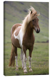 Canvas  Iceland horse - Don Grall
