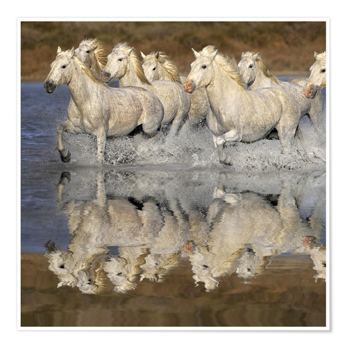 Premium poster Camargue horses in the water