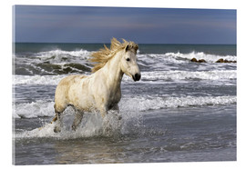 Acrylic glass  Camargue horse in the surf - Adam Jones