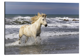 Alu-Dibond  Camargue horse in the surf - Adam Jones