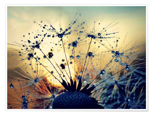 Premium poster Dandelion in the sunset