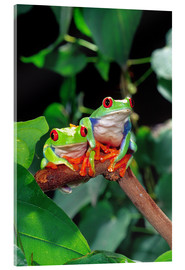 Acrylic print  Rotaugenlaubfrosch-couple - David Northcott
