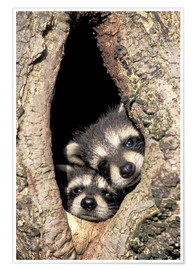 Premium poster  Baby raccoons in the tree cave - Adam Jones