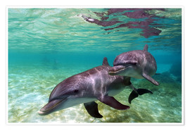 Poster  Two bottlenose dolphins from the beaches of the Caribbean - Stuart Westmorland