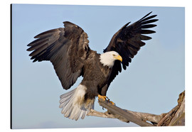 Aluminium print  Eagle with outstretched wings - Charles Sleicher