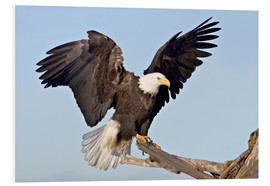 Foam board print  Eagle with outstretched wings - Charles Sleicher