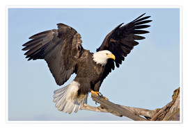 Premium poster  Eagle with outstretched wings - Charles Sleicher