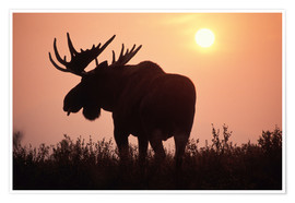 Premium poster Moose at sunset
