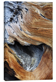 Canvas print  Trunk of an old pine - Dennis Flaherty