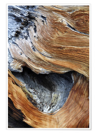 Premium poster  Trunk of an old pine - Dennis Flaherty