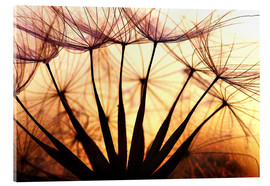 Acrylic print  Dandelion in the sunset II - Julia Delgado