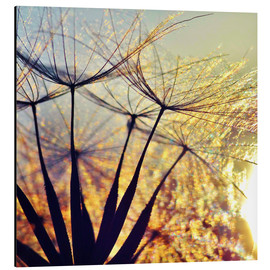 Aluminium print  Dandelion in the sunset III - Julia Delgado