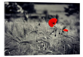Acrylic print  Red poppies in a cornfield - Julia Delgado