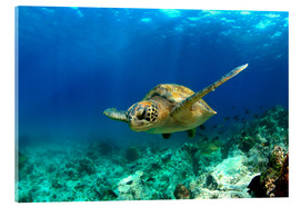 Acrylic print  Green sea turtle under water - Paul Kennedy