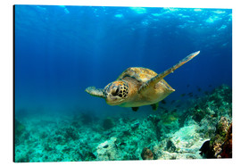 Aluminium print  Green sea turtle under water - Paul Kennedy