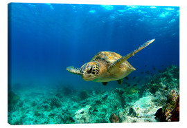 Canvas print  Green sea turtle under water - Paul Kennedy