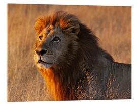 Acrylic glass  Lion in the evening light - Africa wildlife - wiw
