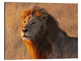Aluminium print  Lion in the evening light - Africa wildlife - wiw