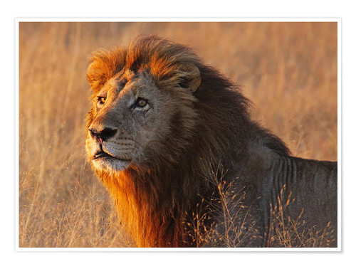 Poster Lion in the evening light - Africa wildlife