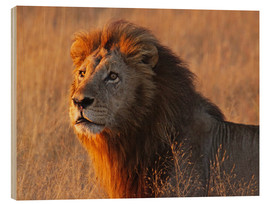 Wood print  Lion in the evening light - Africa wildlife - wiw