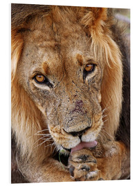 Foam board print  View of the lion - Africa wildlife - wiw