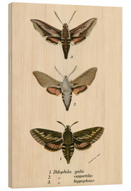 Wood print  Butterflies - English School