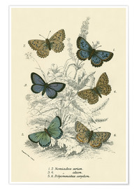 Premium poster  Butterflies - English School