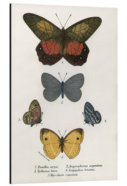 Aluminium print  Butterflies - English School