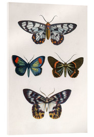Acrylic print  Butterflies - English School