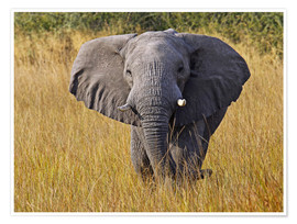Poster Elephant in the gras - Africa wildlife