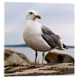 Acrylic print  Seagull at the port of Sassnitz, on the island of Rügen - CAPTAIN SILVA