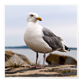 Premium poster  Seagull at the port of Sassnitz, on the island of Rügen - CAPTAIN SILVA