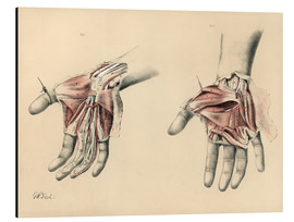Aluminium print  Upper limbs. Superficial and deep views of the palm - G. H. Ford