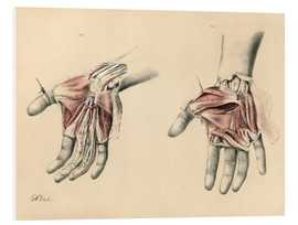 Foam board print  Upper limbs. Superficial and deep views of the palm - G. H. Ford