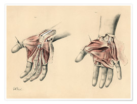 Premium poster  Upper limbs. Superficial and deep views of the palm - G. H. Ford