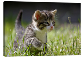 Canvas print  Kitten - WildlifePhotography