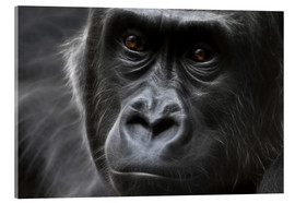 Acrylic glass  gorilla - WildlifePhotography
