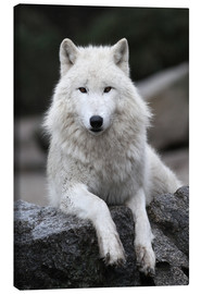 Canvas print  the wolf - WildlifePhotography