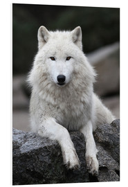 Foam board print  the wolf - WildlifePhotography