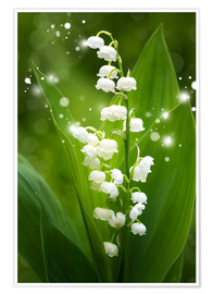 Premium poster  Lily of the valley - Steffen Gierok