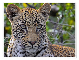 Premium poster  The leopard - Africa wildlife - wiw